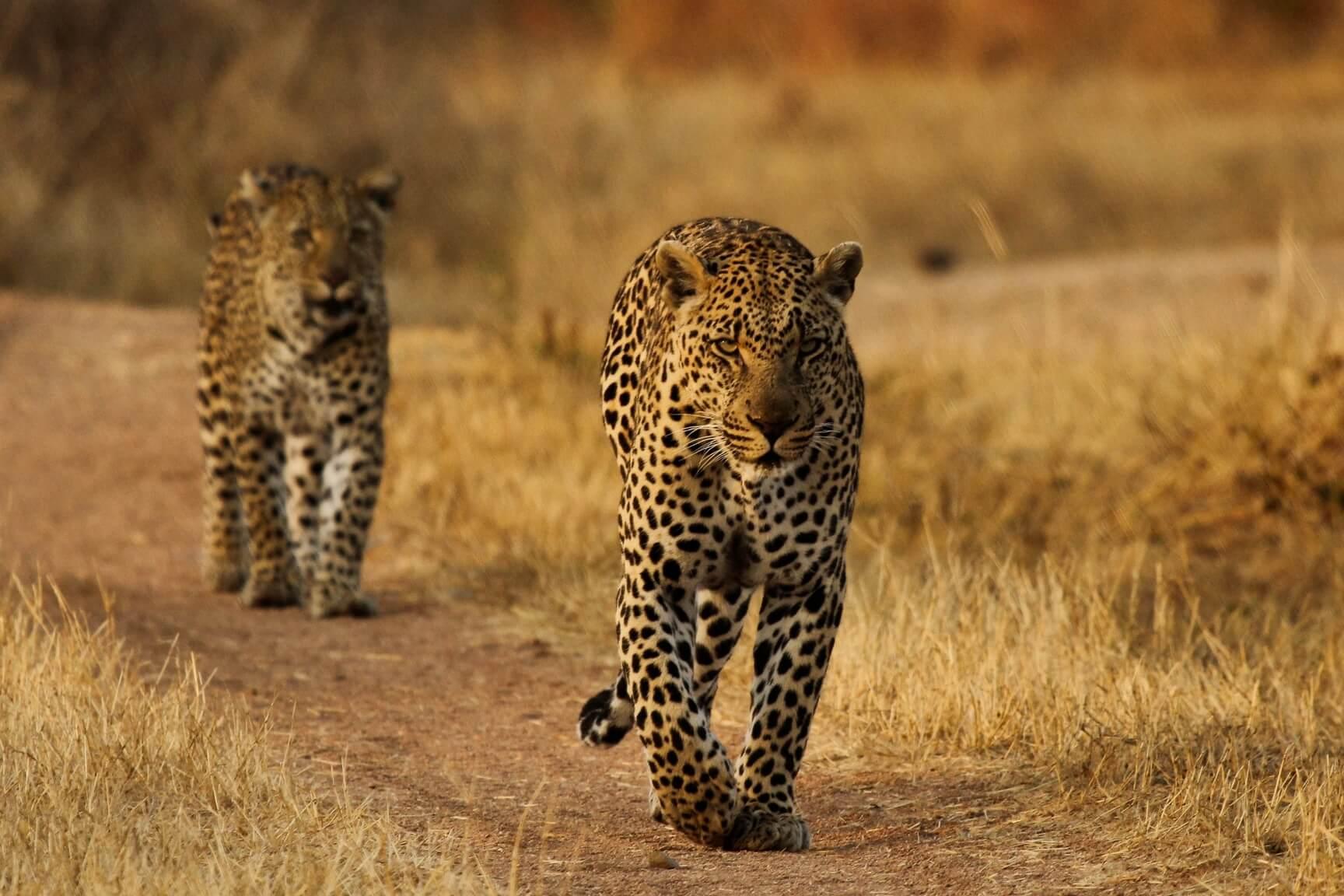 Leopard Walking Africa Revealed