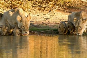Lion Safari Africa Revealed