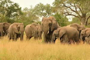 Elephants Safari Africa Revealed