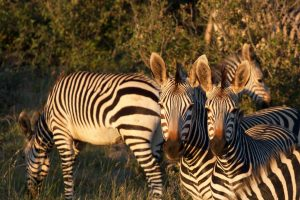 Zebra Safari Africa Revealed