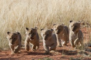 Lion Cubs Safari Africa Revealed