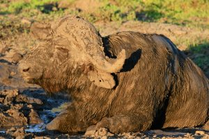 Buffalo Safari Africa Revealed