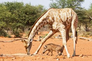 Giraffe Safari Africa Revealed