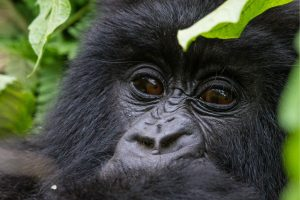 Gorilla Safari Africa Revealed