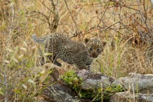 Leopard Cub Safari Africa Revealed
