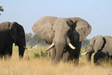 Elephant Safari Africa Revealed