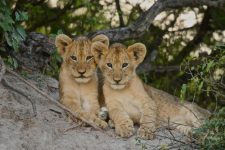Lion cub Safari Africa Revealed