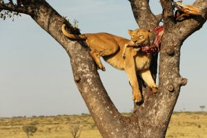 Lion Kill Safari Africa Revealed