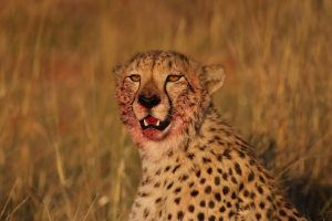 Cheetah Safari Africa Revealed