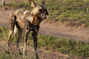 Wild Dog Safari Africa Revealed