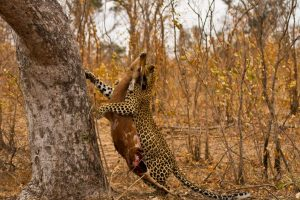 Leopard Safari Africa Revealed