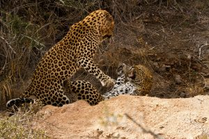 Leopards Safari Africa Revealed