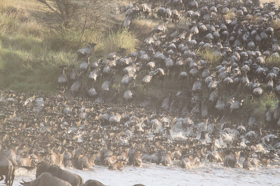 Great Migration Wildebeest Africa Revealed